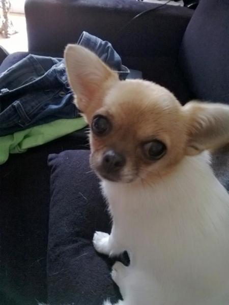 Il Maltese Il Cane Che Non Fa Odore E Non Perde Peli Un Cane Per