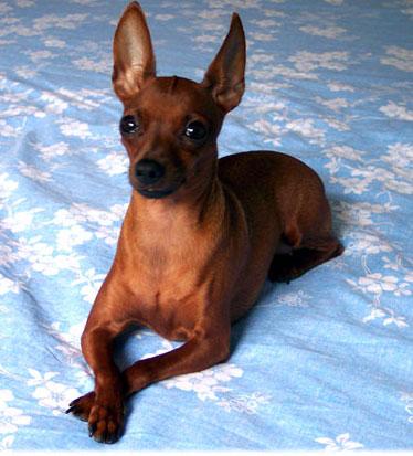 Signori e signori il cane iperattivo il pinscher adatto a for Pinscher medio